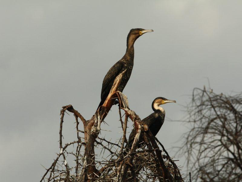 cormorants-4071021_1920